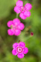 heather carnation, Dianthus deltoides 'Roseus'