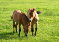 Two foals on a horse pasture