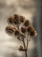 Dry stem of thistle with thorny seeds