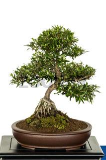Azalee als Bonsai Baum