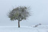 Apple tree with mistletoe