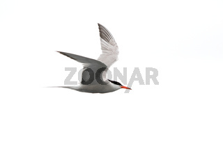 Common tern - Sterna Hirundo - in flight