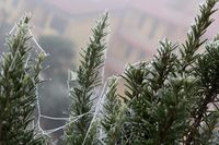 cobweb of ice on a rosemary plant on the terrace