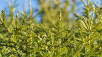 Evergreen branches of Christmas tree in pine forest. Close-up view of fir natural fir branches