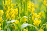 Flowers  Genista tinctoria