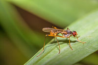 Stilt-legged fly  'Neria cibaria'