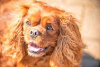 Cavalier King Charles Spaniel dog male dog in Ruby