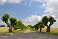 Avenue of linden trees