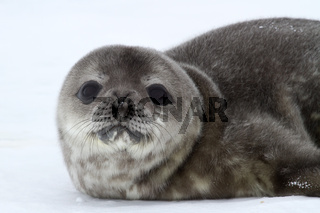 portrait of a puppy Weddell seal spring Antarctic day