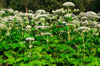 poisonous blooming giant weed hogweed