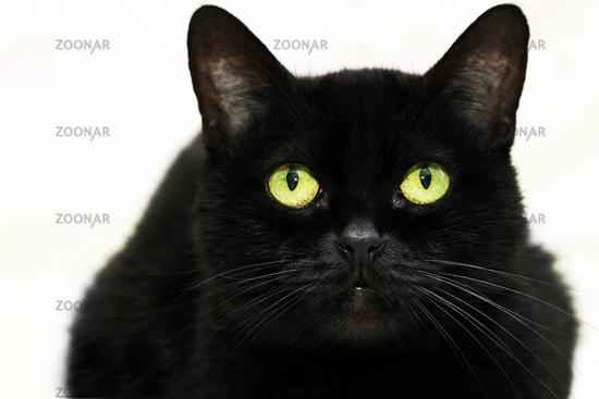 Beautiful black cat on white background