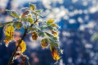 Frosted leaves in the sunlight