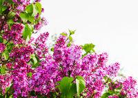 Bush of blooming lilacs