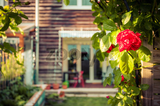 Idyllic garden in summer. Close up of rose flower, veranda, garden and house in the blurry background