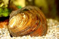 mussel  (Anodontinae)