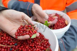Hands of two men holding bucket full of freshly harvested lingonberries in the forest
