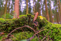 Pinecone lying at the ground in a green mossy forest