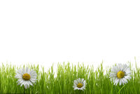 Green grass and daisy blossoms - cut out