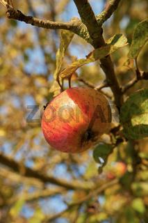 Apfel an einem Apfelbaum im Herbst