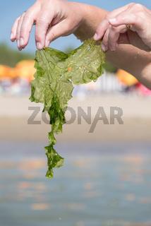 Meerestang an Küste mit Händen festgehalten - Tang