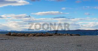 Walrosse, Spitsbergen