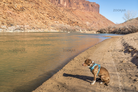 pit bull on sandy shore of Colorado River