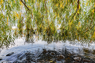 Weeping Willow Curtain over the Dnieper river water