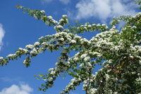 20200506_Crataegus monogyna, Eingriffliger Weißdorn, Common Hawthorn.jpg