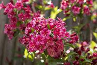 Blühende Weigelie (Weigela) im Garten