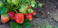 Red ripe strawberries in a summer garden.