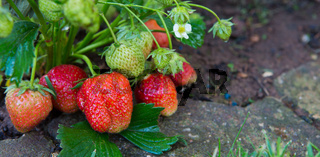 Red ripe strawberries in a summer garden.