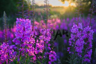 wild useful and beautiful plant ivan tea