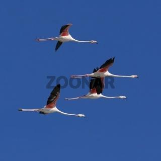 Pink Flamingo in flight