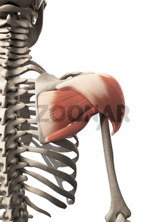 3d rendered illustration of the shoulder muscle