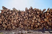 Timber cutting. Stack of spruce logs