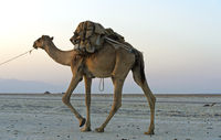 Dromedary of a caravan loaded with rock salt on the Assale salt lake, Afar Region, Ethiopia