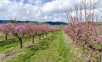 pink flourishing fruit trees at spring