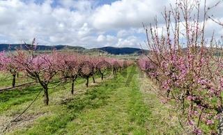 Rosa  blühende Reihen von Obstbäumen im Frühling