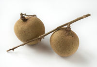 Longan on a branch, fresh tropical fruit.