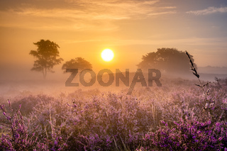 Blooming heather field in the Netherlands near Hilversum Veluwe Zuiderheide, blooming pink purple heather fields in the morniong with mist and fog during sunrise