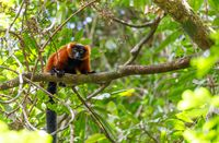 Red ruffed lemur, Varecia rubra, Madagascar wildlife