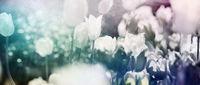 tulpen rot violett panorama konzept textur