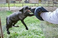 The aggressive fox