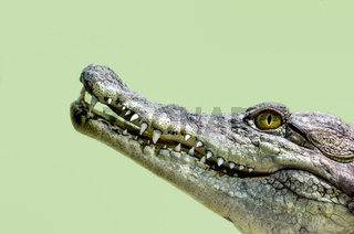 crocodile head isolated close up on a green background
