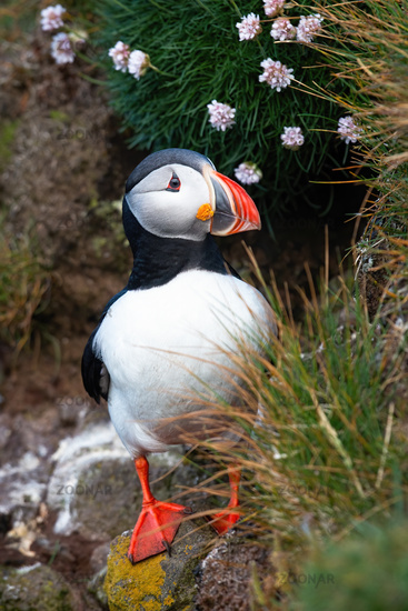 Cute atlantic puffin standing on cliff with flowers