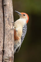 Red-bellied Woodpecker Latched