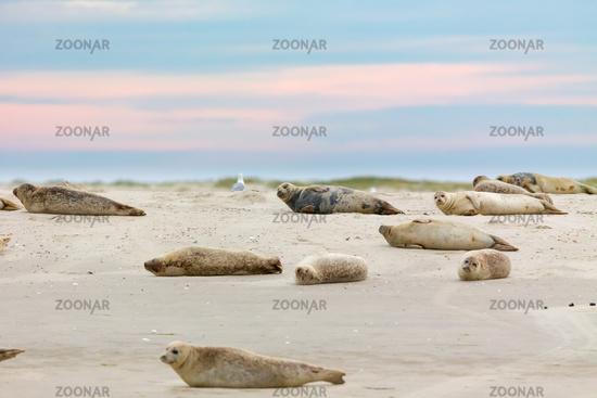 Harbor Seals (Phoca vitulina)