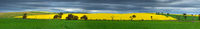 Canola and wheat fields panorama in spring