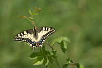 Swallow-tail