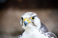 Beak and head of a Gerfalcon